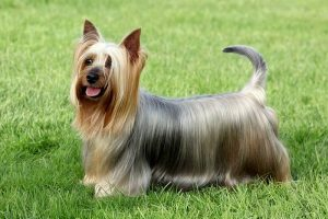A beautiful picture of a Silky Terrier dog