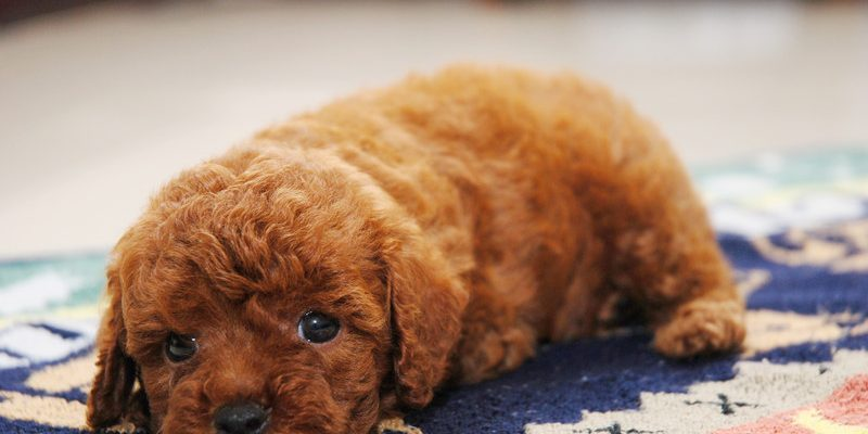 A gorgeous picture of a cute toy poodle puppy