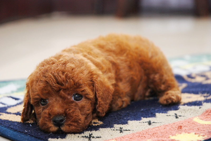 Small Fluffy Dog Breeds All About Cute Small Dogs