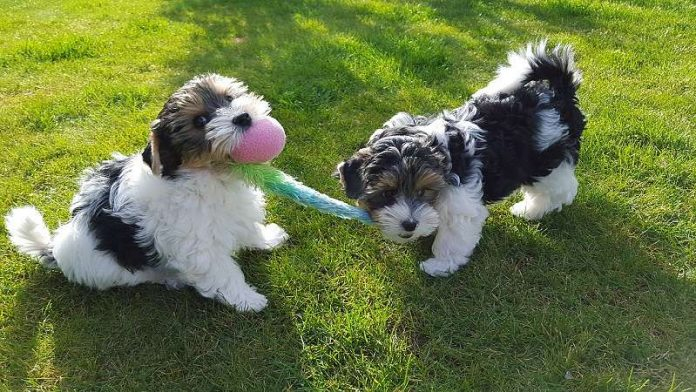 A picture of two gorgeous Biewer Terrier dogs
