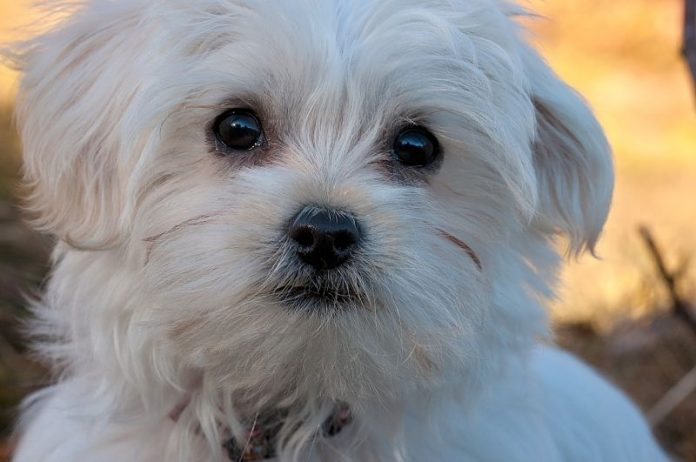 A gorgeous picture of a Maltese dog
