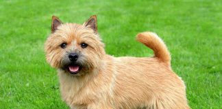 A gorgeous Norwich Terrier dog