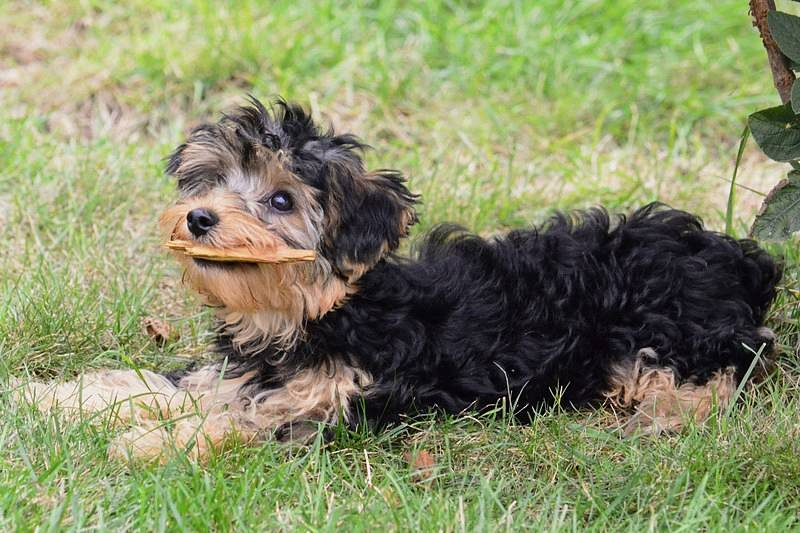 A guide to giving a DIY Yorkiepoo puppy cut