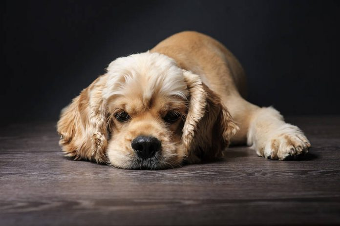 A picture of a beautiful young American Cocker Spaniel dog
