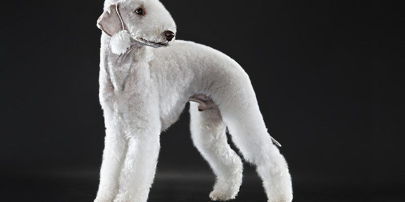 A beautiful example of the Bedlington Terrier dog