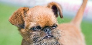 A cute example of the Brussels Griffon dog breed