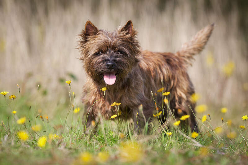 A great example of the Cairn Terrier dog breed