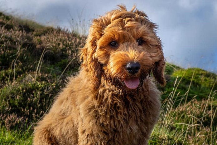 Picture of a cute young red Cockapoo dog