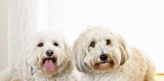 A picture of two beautiful Coton de Tulear dogs