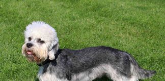 A picture of a cute Dandie Dinmont dog in a garden.