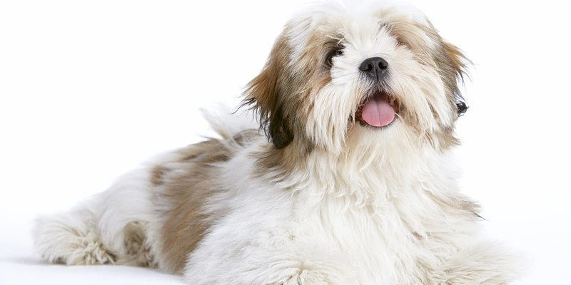 Picture of a beautiful Lhasa Apso dog.