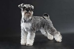 A beautiful Miniature Schnauzer dog against a black background