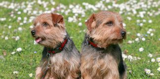 A picture of two beautiful Norfolk Terrier dogs