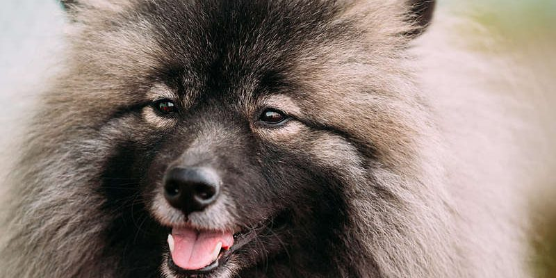 Picture of a beautiful Keeshond dog