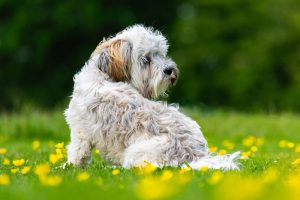 Picture of a beautiful Kyi-Leo dog sitting on grass