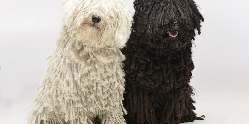 A picture of two gorgeous Puli dogs