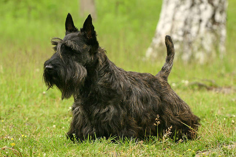 A picture of a black Scottish Terrier dog