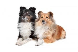 Picture of 2 beautiful Shetland Sheepdogs (Shelties)