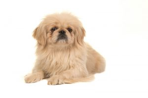 Picture of a Tibetan Spaniel dog on a white background.
